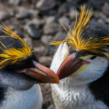219 Royal Penguin--Couple--Macquarie Island