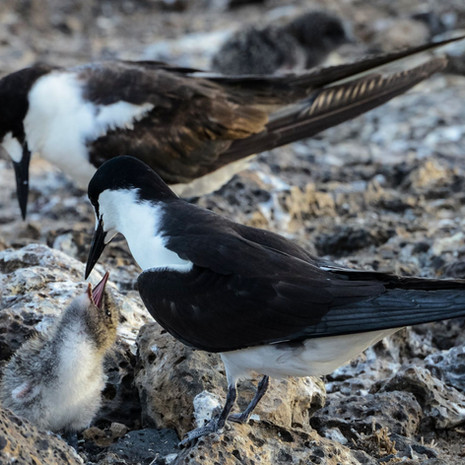 528 Sooty Tern--Chick--Ascension Island