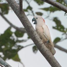 1241 Moluccan Cockatoo--Seram Island--Indonesia