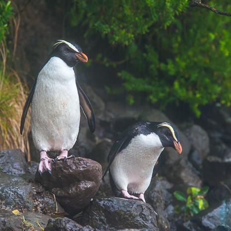 224 Fiordland Penguins--Tawaki--South Island New Zealand