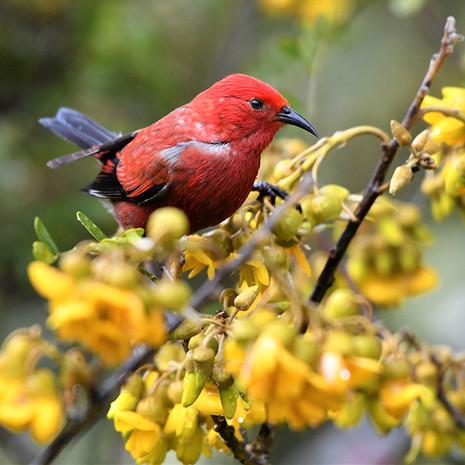 1819 Apapane--Feeding on Mamane--Hosmer Grove--Maui