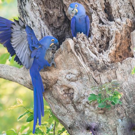 1223 Hyacinth Macaw--Nesting--Pantanal--Brazil