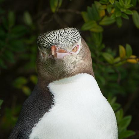 240 Yellow-Eyed Penguins--Portrait Head--Enderby Island