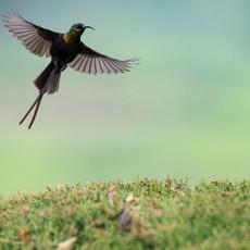 1107 Bronze Sunbird--Aerial Dance--Kibale--Uganda