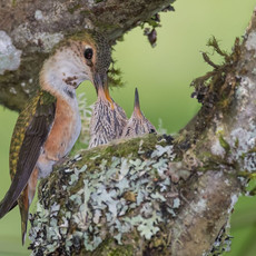 1509 Rufous Hummingbird--Nest Two Chicks--Garden