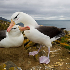 ALBATROSS & OTHER SEABIRDS