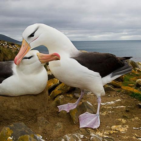 500 Black-browed Alblatross--Courtship--Falkland Islands