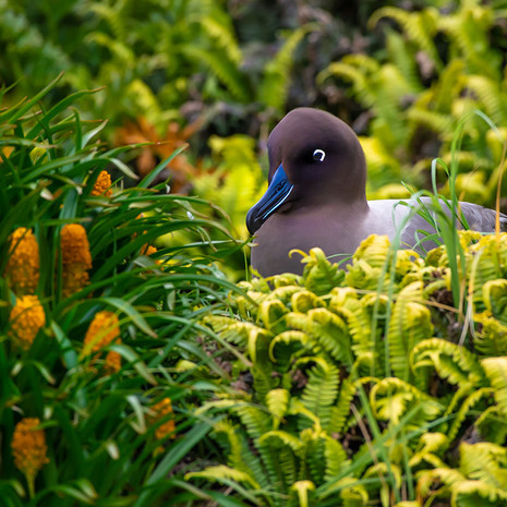 501 Light-mantled Sooty Albatross--Ross's Lily--Campbell Island--New Zealand--Nesting