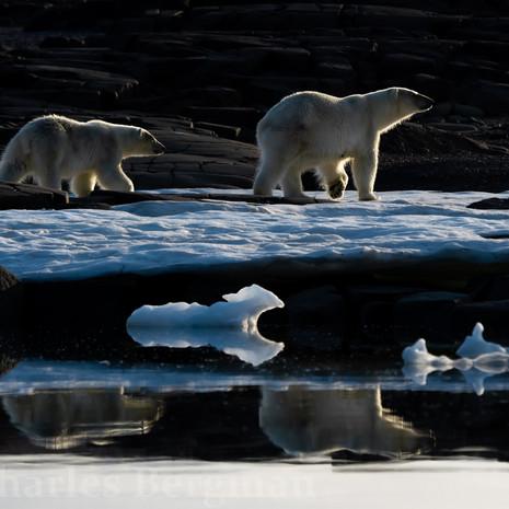 1910 Polar Bear--Mother and Cub--Midnight Walk--Svalbard