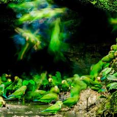 1212 Cobalt-winged Parakeet--Clay Lick--Napo River--Ecuador