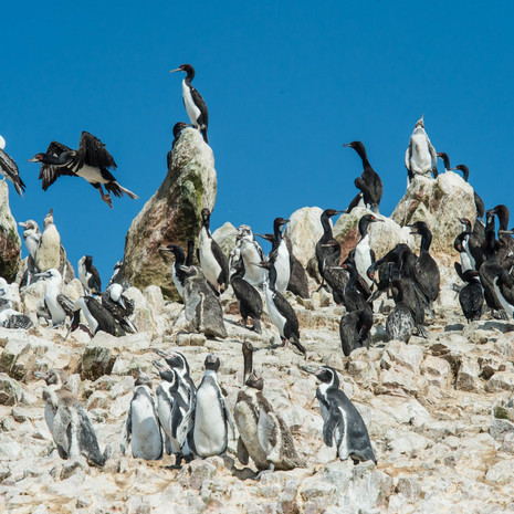 408 Humboldt Penguins--Islas Ballestas