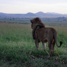 1104 African Lion Panorama--Kidepo--Uganda