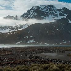 117 King Penguins--Creche--South Georgia Island