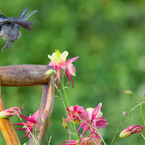 1504 Black-capped Chickadee--Columbine--Garden