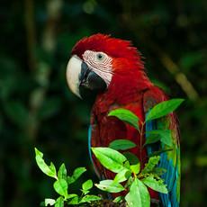 1216 Green-Winged Macaw--Jungle--Guyana
