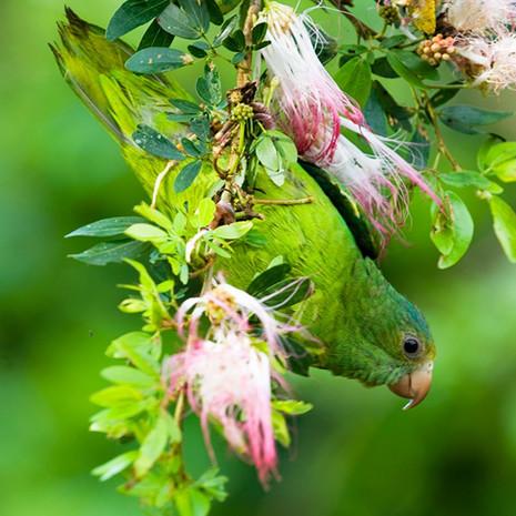 1214 Cobalt-winged Parakeet--Pink Flowers--Rio Aquarico--Ecuador