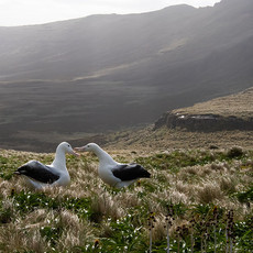 504 Southern Royal Albatross--Campbell Island--New Zealand--Courting
