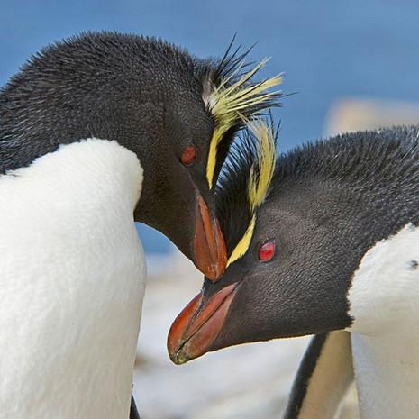 200 Southern Rockhopper--Cuddly Pair--Falkland Islands