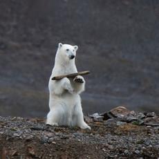 1907 Polar-Bear--Juvenile-Juggling--Svalbard