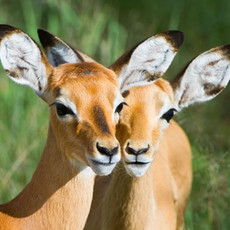 1121 Impala--Serengetti--Tanzania
