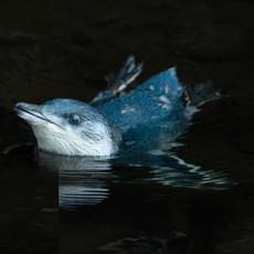415 Little Penguin--White-flippered Penguin--Flea Bay--Banks Peninsula