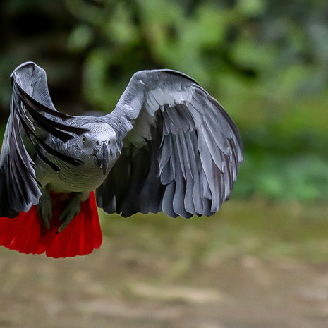 1204 African Gray Parrot--Flying--Uganda