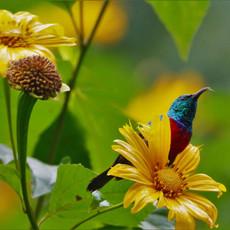 1126 Red-chested Sunbird--Bwindi--Impenetrable Forest--Uganda