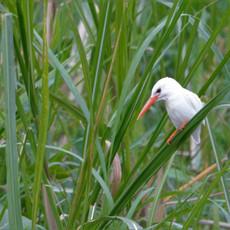 1124 Malachite Kingfisher--Albino--Mwyea--Uganda