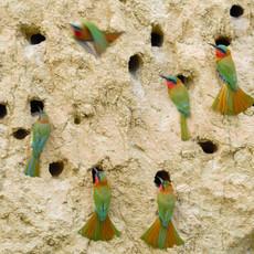 1128 Red-throated Bee Eaters--Kazinga Channel--Uganda