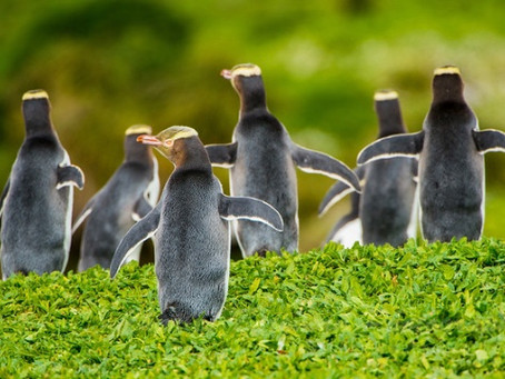 Yellow-eyed Penguins in New Zealand