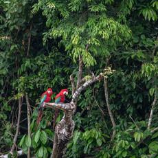 1229 Red and Green Macaw--Manu--Amazon--Brazil