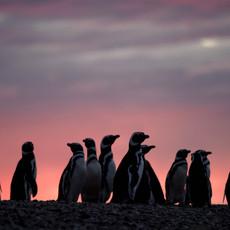 405 Magellanic Penguins--Sunset--El Pedral