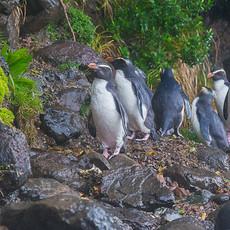 222 Fiordland Penguins--Tawaki--South Island New Zealand