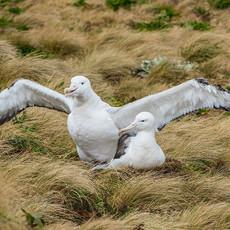 508 Southern Royal Albatross--Pair Mated--Campbell Island