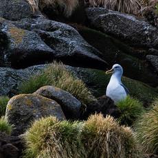 509 Buller's Albatross--Snares Island--Nesting