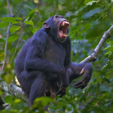 1109 Chimpanzee--Budongo Forest--Uganda