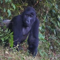1118 Gorilla--Silverback--Bwindi--Impenetrable Forest--Uganda