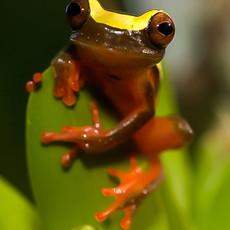804 Yellow-striped Frog--Yasuni NP--Amazon Basin--Ecuador