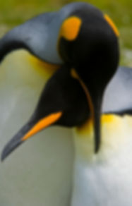 King-Penguin--Volunteer-Point--Neck-Embr