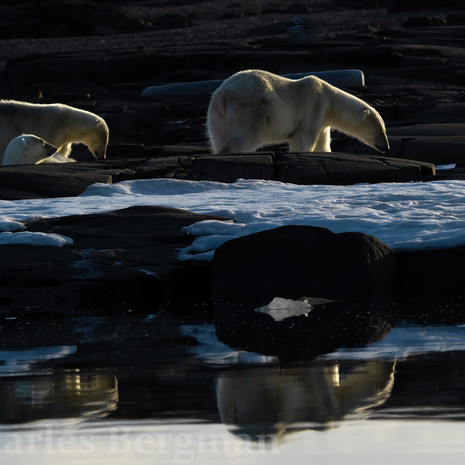 1913 Polar Bear--Mother and Two Cubs--Midnight Walk--Svalbard