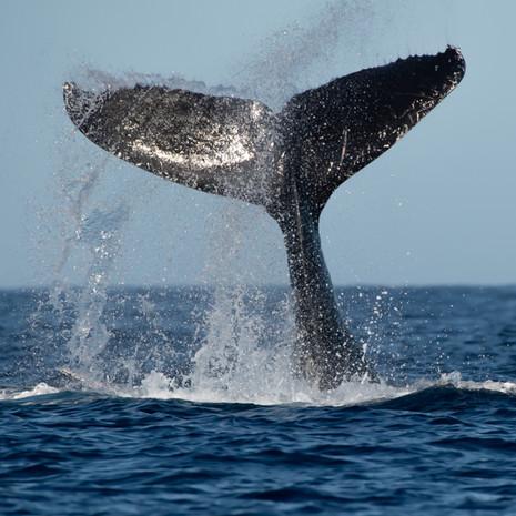 1822 Humpback Whale--Flukes Way Up--Maui