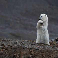 1906 Polar Bear--Juvenile Performing--Svalbard