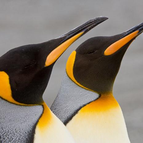 119 King Penguins--Mirror Pose--South Georgia Island