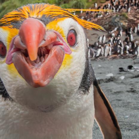 214 Royal Penguin--Sandy Bay--Macquarie Island