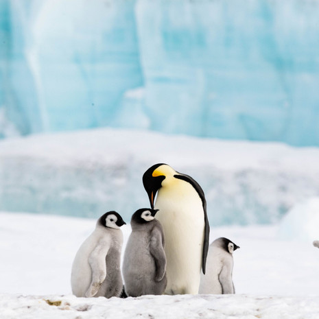 102 Emperor Penguin--Adult and Chicks--Snow Hill
