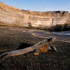 1011 Marine Iguana--Black-sand Beach--Puerto Egas--Santiago Island
