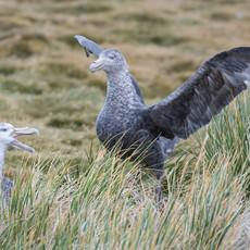 523 Southern Giant Petrel--Nesting--Prion Island--South Georgia Islands