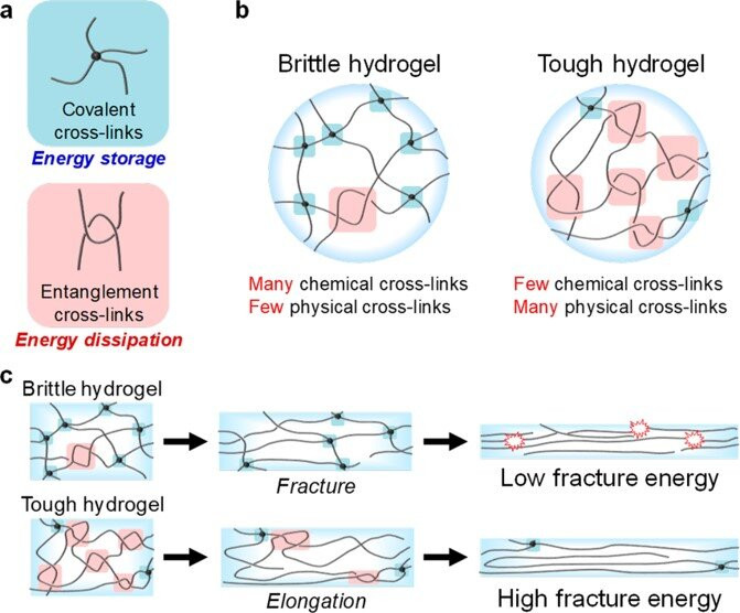 Schematics of hydrogels with physical and chemical cross-links. (a) Covalent and entanglement cross-links for energy storage and dissipation, respectively. (b) Chemically and physically cross-linked structures of brittle and tough hydrogels. (c) Fracture behavior of brittle and tough hydrogels with few and many entanglements, respectively. Credit: NPG Asia Materials, doi:10.1038/s41427-021-00302-2