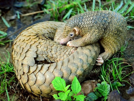 Philippine Pangolins Spotted, Researcher Suggest It's Not Too Late to Save Them