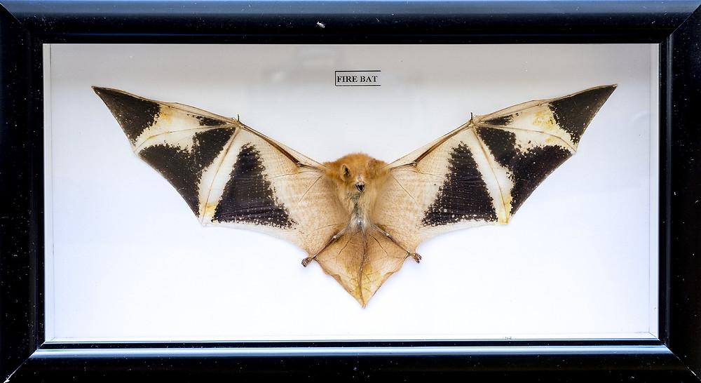 Bat specimen preserved in a wooden box, sold on eBay. Credit: Anne-Lise Chaber